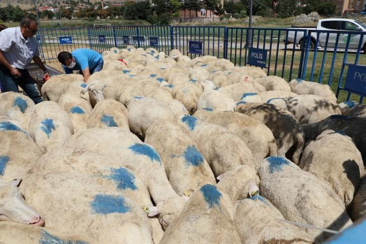 Eskişehir'de yetiştiricilere damızlık koç dağıtıldı