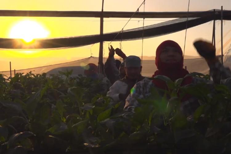 İsrail'de Tayland'lı Tarım İşçileri Kötü Koşullarda Çalıştırılıyor