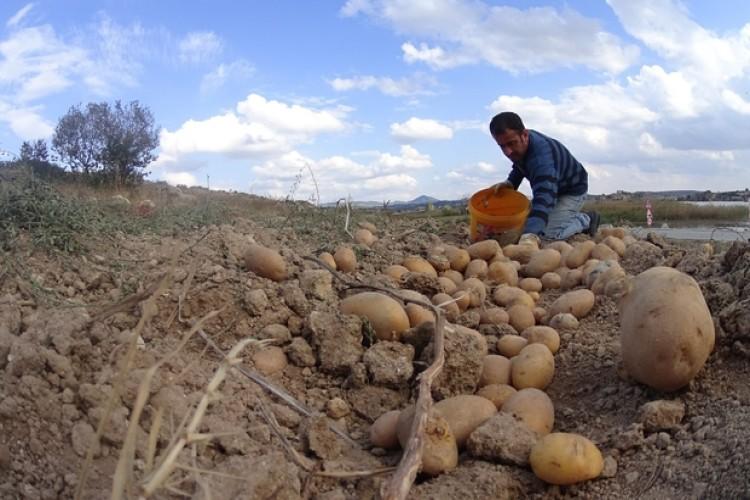 Patates Ekiminin Yasaklandığı İddiası Doğru Değil