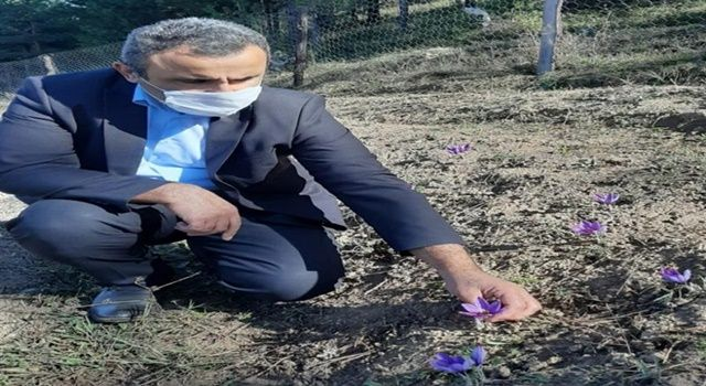 Düzce'de ilk Safran hasadına başlandı