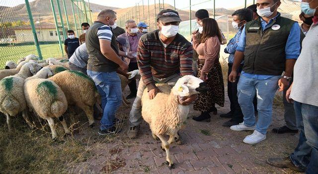 Kayseri'de damızlık koç dağıtıldı