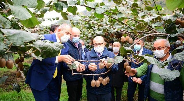 Trabzon'da Alternatif Ürün Kivinin Hasadı Başladı