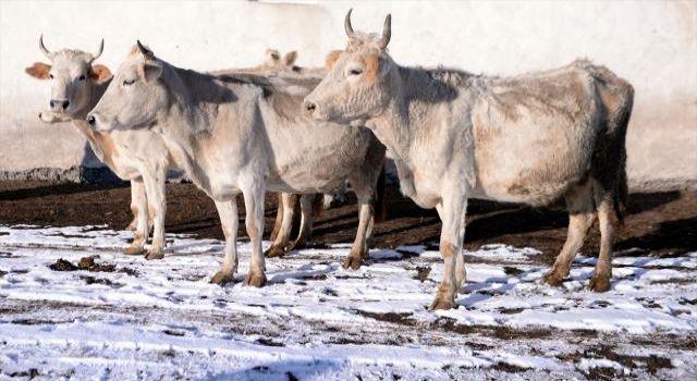 Kaybolmaya yüz tutan 'Zavot sığırı' sayısı desteklerle 9 kat arttı