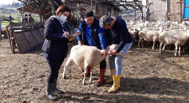 2020 Anaç Koyun - Keçi Destekleme Tespit Çalışmaları Başladı