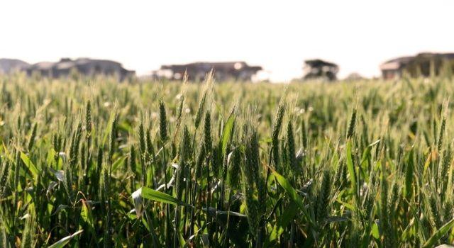 Buğdaylar başak verdi