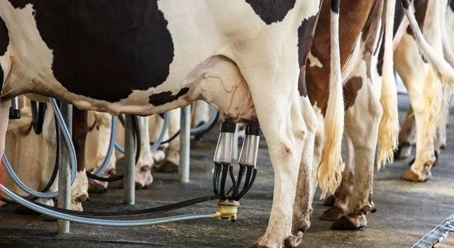 Toplanan İnek Sütü Miktarı Yüzde1,5 Azaldı
