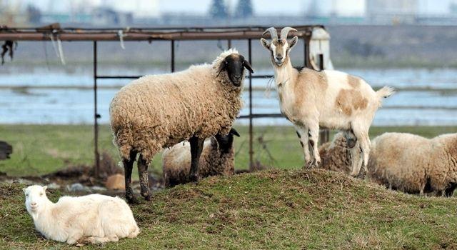 Akhisar'da Anaç Koyun-Keçi Desteği Ödemeleri Başladı