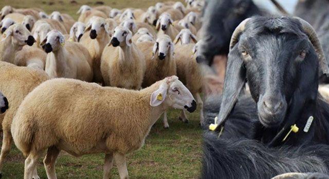 Bakan Pakdemirli'den Koyun-Keçi Yetiştiricilerine Müjde…