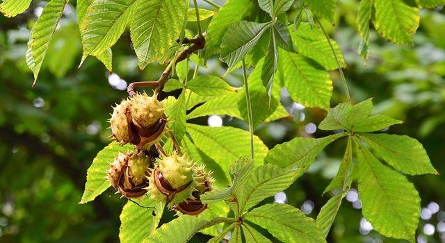Gal Arısı Kestane Ağaçlarını Öldürüyor