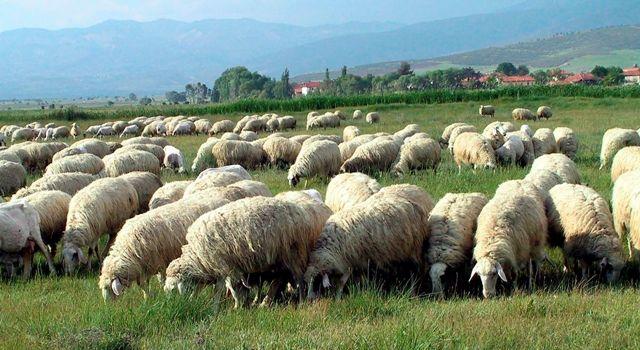 Giresun'da Anaç Koyun Keçi Destekleme ödemeleri başladı