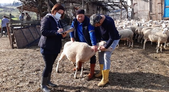 Yetiştiricilere 313 Bin Lira Anaç Koyun Desteklemesi Ödenecek