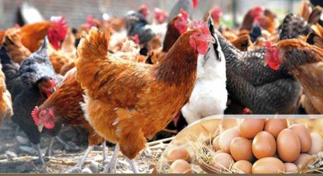 Altınordu Belediyesi % 50 Hibe Destekli 20 Bin Tavuk Dağıtacak