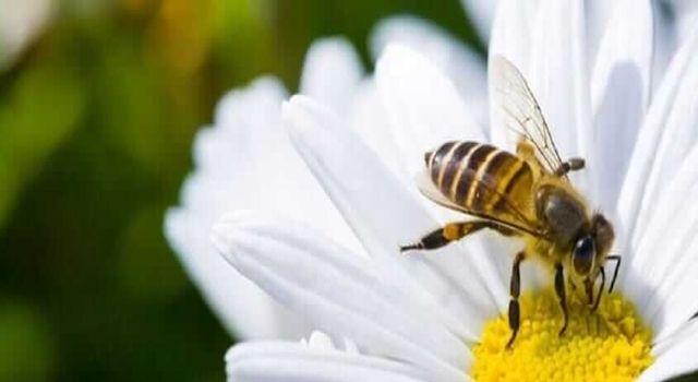 Arı Sokması Ölüme Neden Olur Mu ?