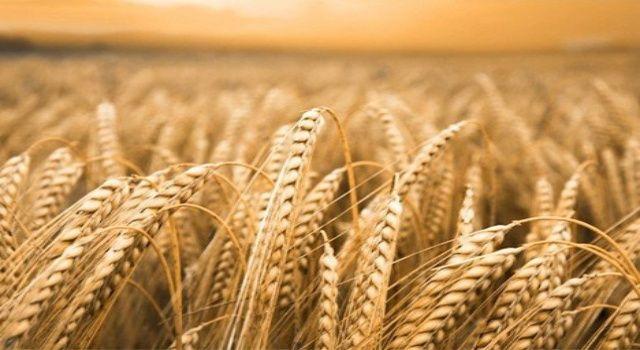 Arpa tohumu desteği için online başvurular başladı