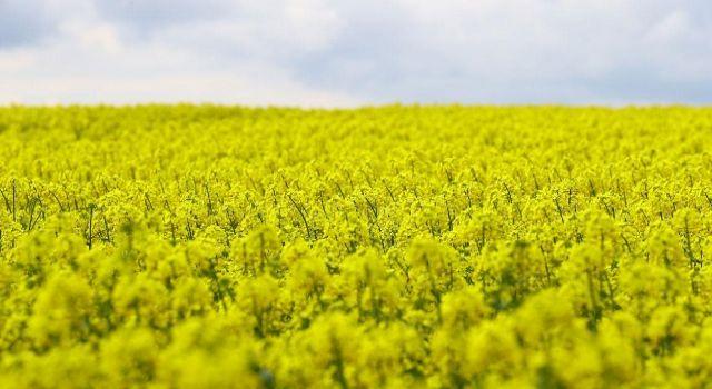 Kanola tohumunun yüzde 50'sini Bakanlık karşılayacak