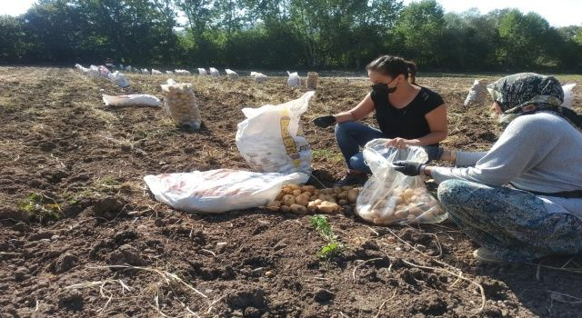 Bolu Patatesinde Kontrol Çalışmaları Devam Ediyor