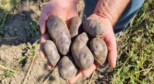 Mor patates hasadı başladı