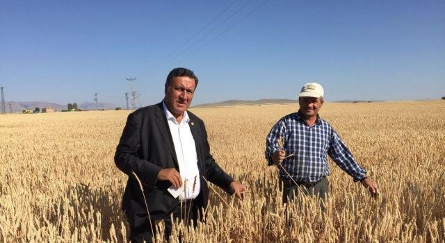 Siyez Buğday Üretimi Artıyor