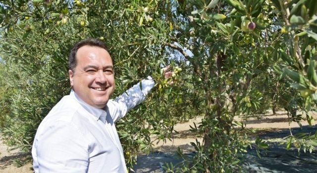 Zeytinin başkenti Akhisar'da, hasat dönemi başladı