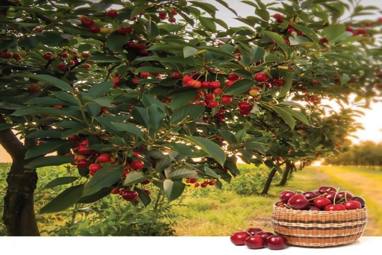 Alanar Meyve'nin Lezzet Ödüllü Kirazı tazekoli.com'da