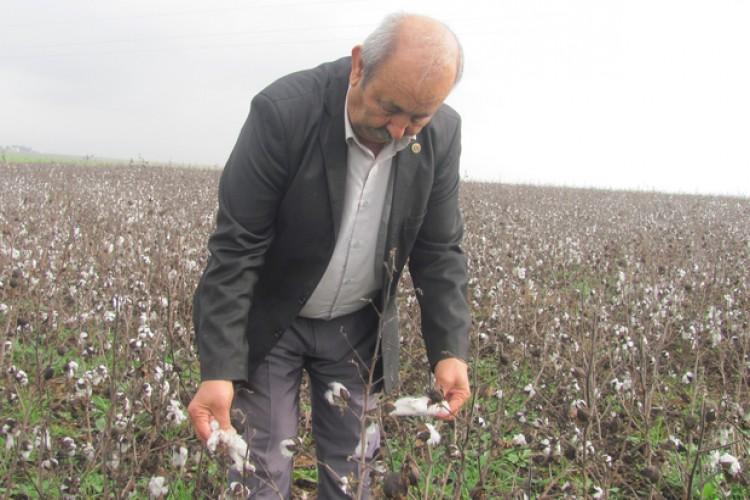 Gaziantepli pamuk üreticisi sıkıntılı