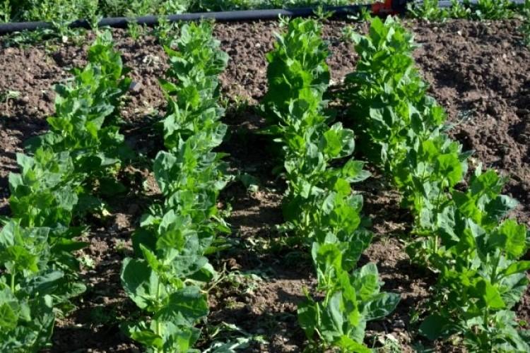 Alternatif gıda kaynağı yetiştirme üzerine çalışma başladı