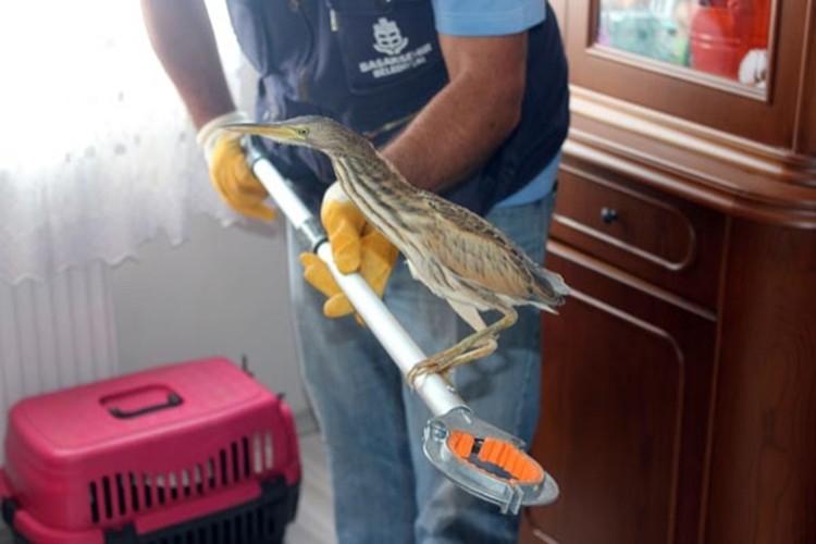 Nesli tükenmekte olan Hint balıkçıl kuşu eve girdi
