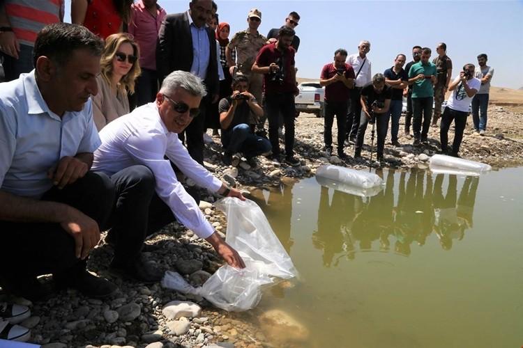 40 Bin Adet Sazan Balığı Yavrusu Dicle Nehrine Bırakıldı