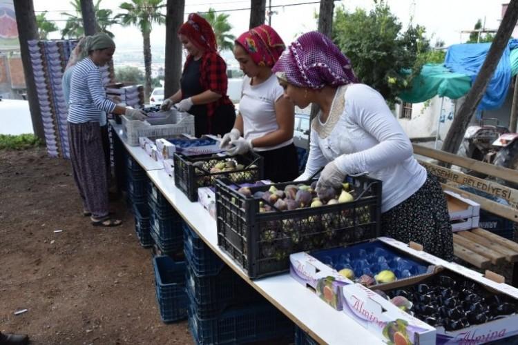 Ülkemizin İlk İncir Hasadı Mersin'de Başladı