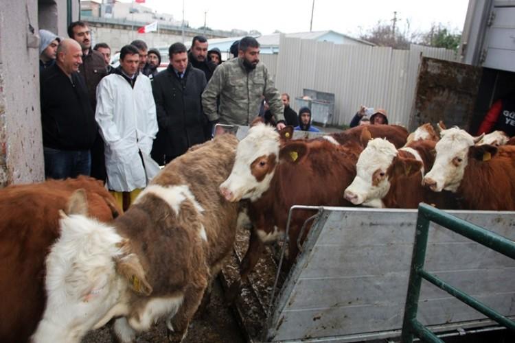 18 Genç Çiftçiye 90 Büyükbaş Hayvan Dağıtıldı