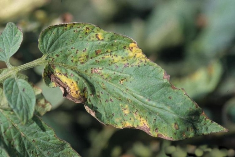 Domates Bakteriyel Benek (Pseudomonas syringae pv. tomato )