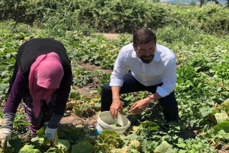 Kornişon üretimindeki artış Sındırgılı çiftçiyi sevindirdi