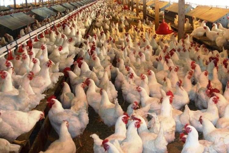 Tavuk Yumurtası Üretimi Artarken, Et Üretimi Azaldı