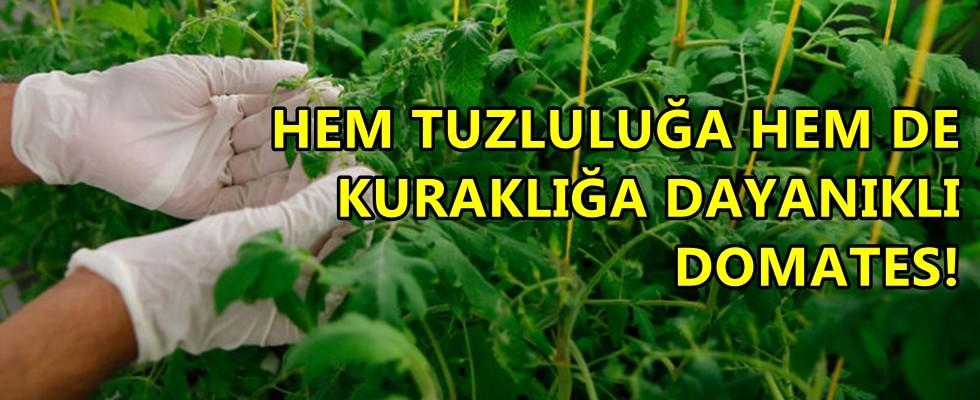 Türk Bilim İnsanları Domates'de Süper Çalışmaya İmza Attılar