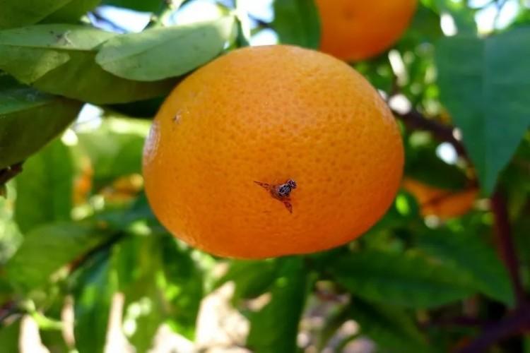 Akdeniz meyve sineği uyarısı: Büyük sorunlarla karşılaşılabilir