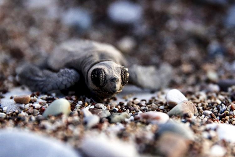 Koruma altına alınan Caretta Caretta yavruları denizle buluştu
