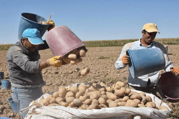 Patateste Üretim Az Olmasına Rağmen Fiyat Artışı Beklenmiyor