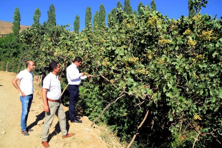 Bitlis'te 300 Ton 'Yeşil Altın' Hasadı Bekleniyor