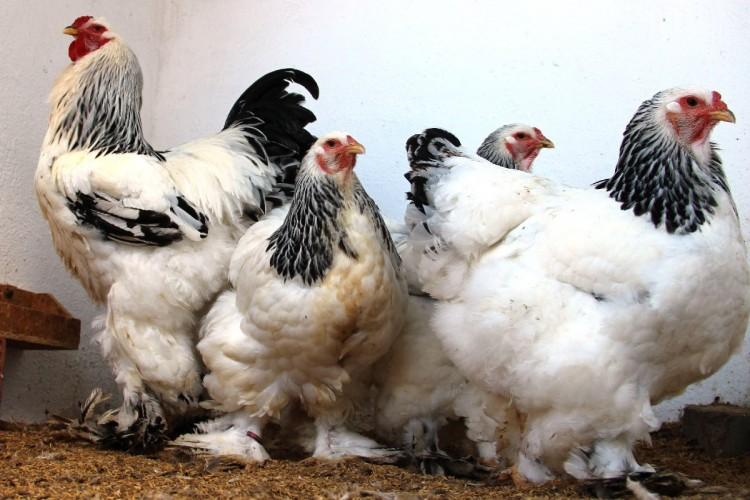 İcradan satılık tavuk ve yumurta!