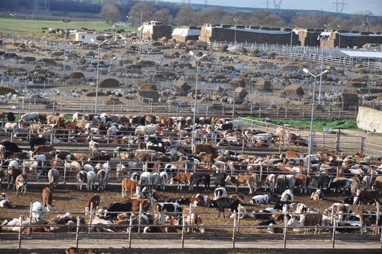 Trakya' ya Kurbanlık Hayvan Sevk Edecekler Dikkat