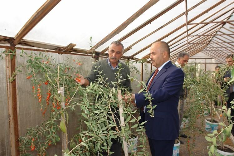 Sivas'ta Goji Berry Yetiştirme Çalışmaları Sonuç Verdi