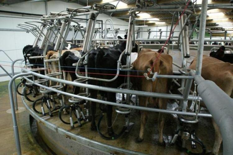 Toplanan İnek Sütü Miktarı Aralıkta Azaldı