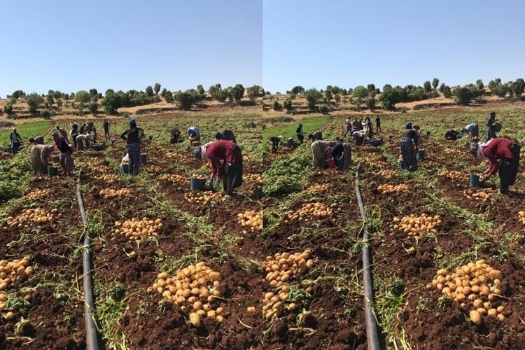 Midyat'ta patates hasadı yapıldı