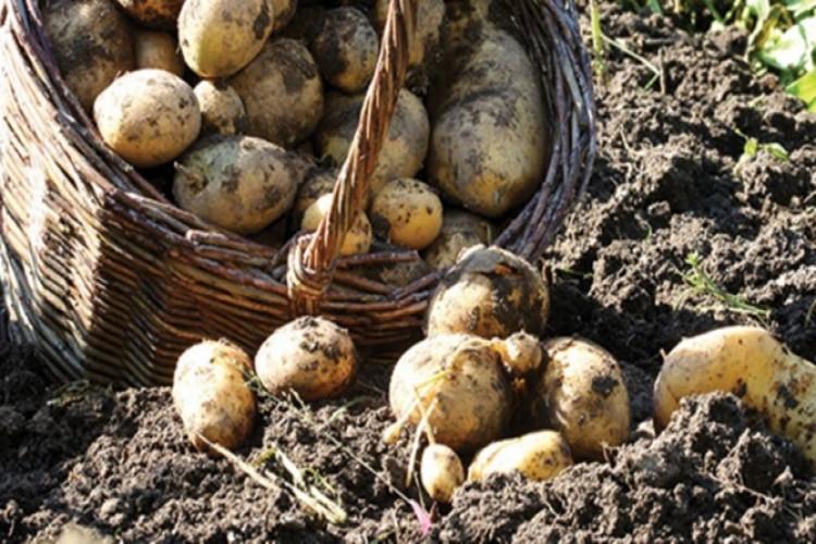 Ar Tarım ilk 'yerli-milli' patates tohumu ile yurtdışına açılacak