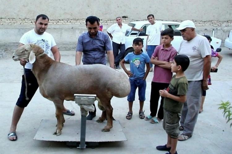 192 kiloluk koyun görenleri hayrete düşürdü