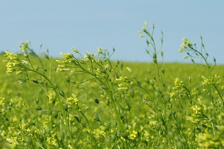 Marjinal Tarım Alanlarına Yağ Bitkisi Ketencik Tarımı Yapılacak