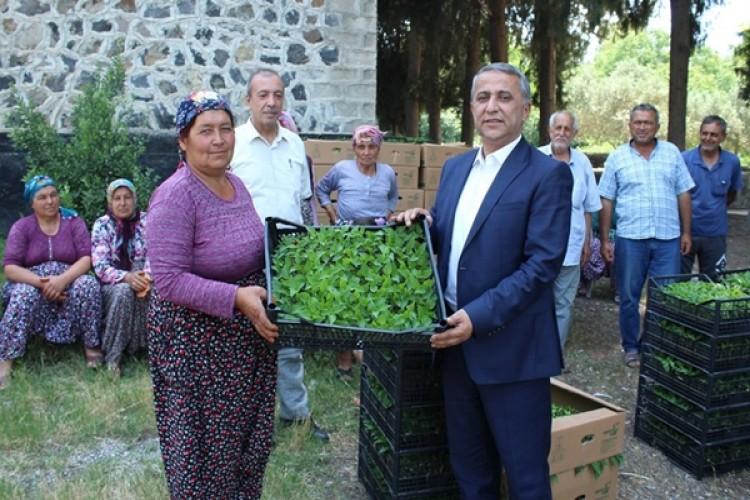 Osmaniye'de Üreticilere Biber Fidesi Dağıtıldı