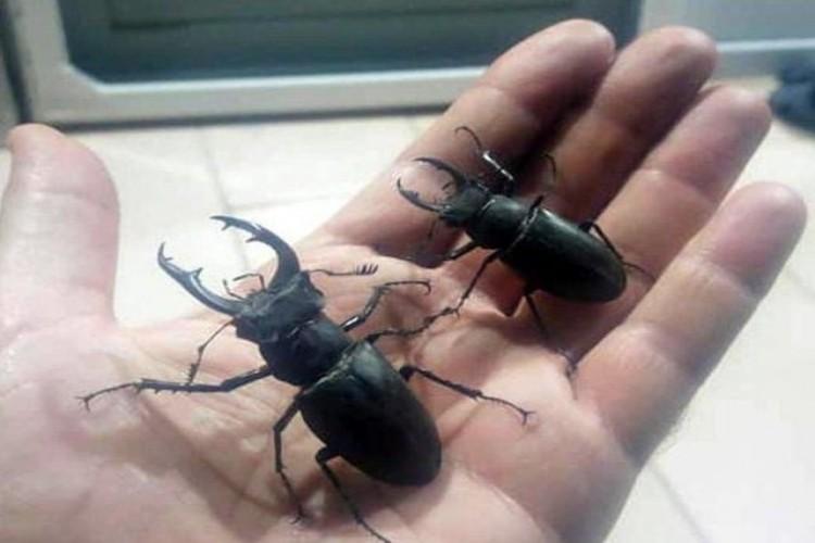 Japonlar Bu Böceğin Peşinde, İnternette 15 Bin TL'ye Satılıyor!