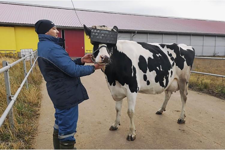Daha Fazla Süt Almak İçin İneklere Sanal Gözlük Taktılar