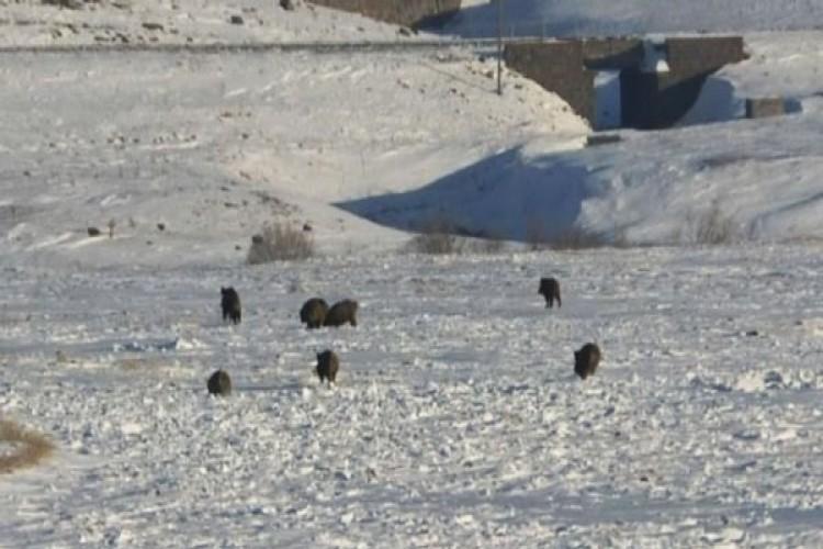 Kars'ta Aç Kalan Domuz Sürüsü Köye İndi